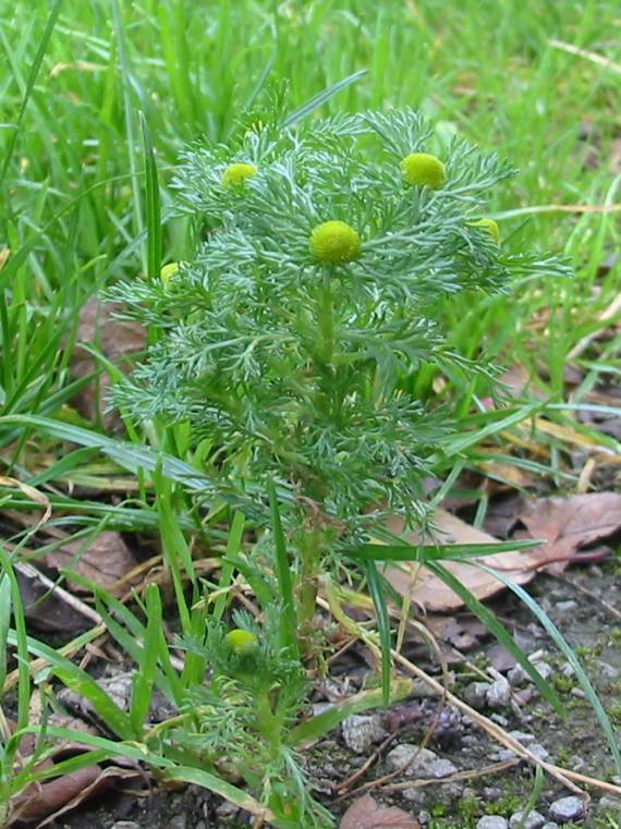 Howardian Local Nature Reserve Pineapple Mayweed