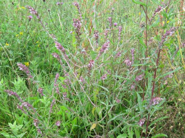 Howardian Local Nature Reserve Red Bartsia