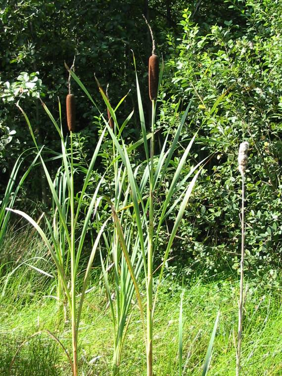 Howardian Local Nature Reserve Reedmace