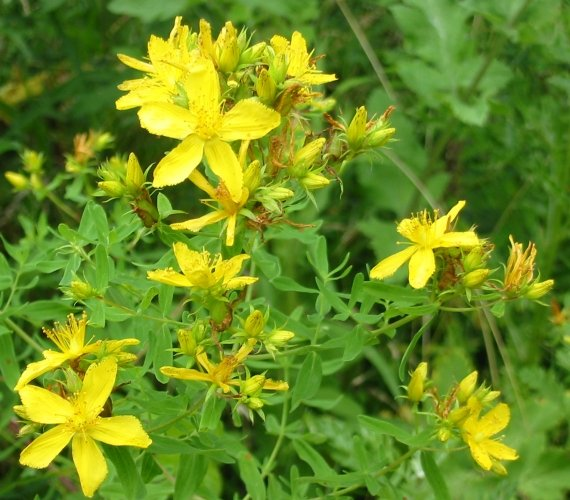 Howardian Local Nature Reserve Common/Perforate St John's Wort