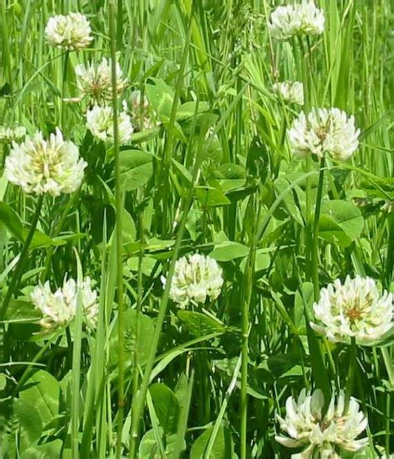 Howardian Local Nature Reserve White or Dutch Clover