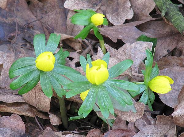 Howardian Local Nature Reserve Winter Aconite