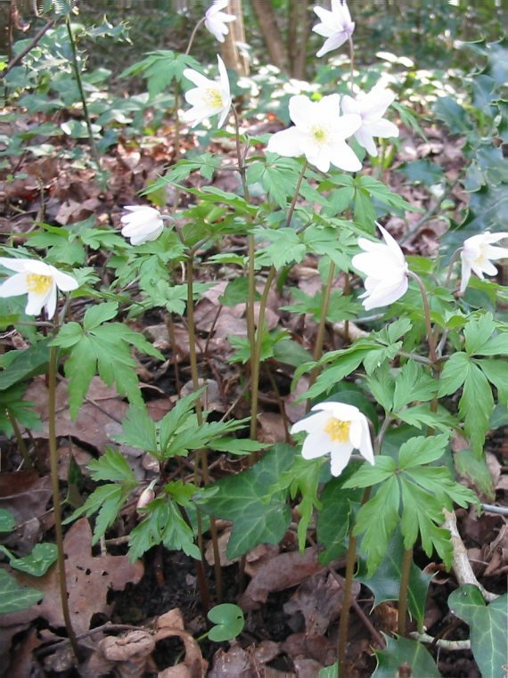 Howardian Local Nature Reserve Wood Anemone
