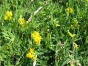 Yellow Meadow Vetchling
