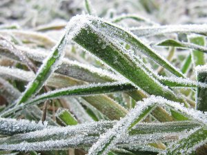 Ice crystals on blades of grass