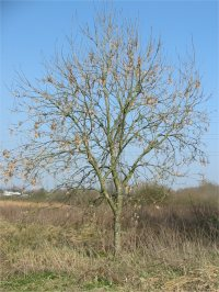 Common Ash   Winter
