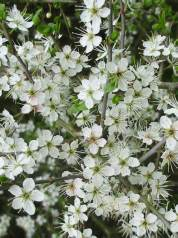 Blackthorn, Sloe   Flower