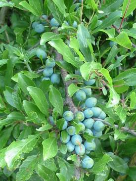 Blackthorn fruit (Sloe)