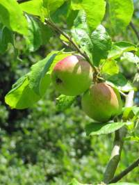 Apple (Brith Mawr) fruit