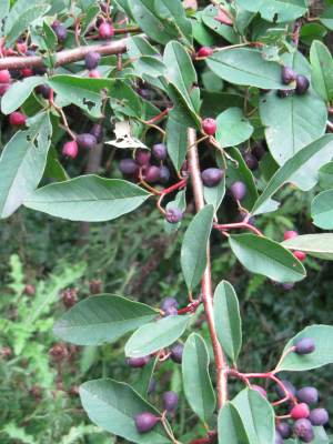 Godalming Cotoneaster fruit