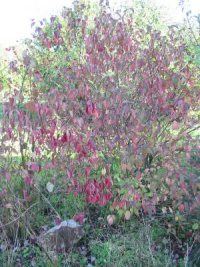 Dogwood Autumn colour
