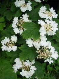 Guelder Rose   Flower