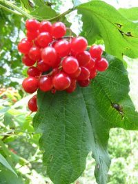 Guelder Rose   Fruit