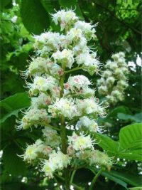 Horse Chestnut