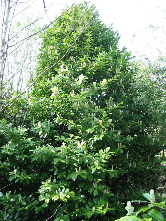 Howardian Local Nature Reserve Cherry Laurel