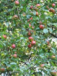Orchard Apple winter
