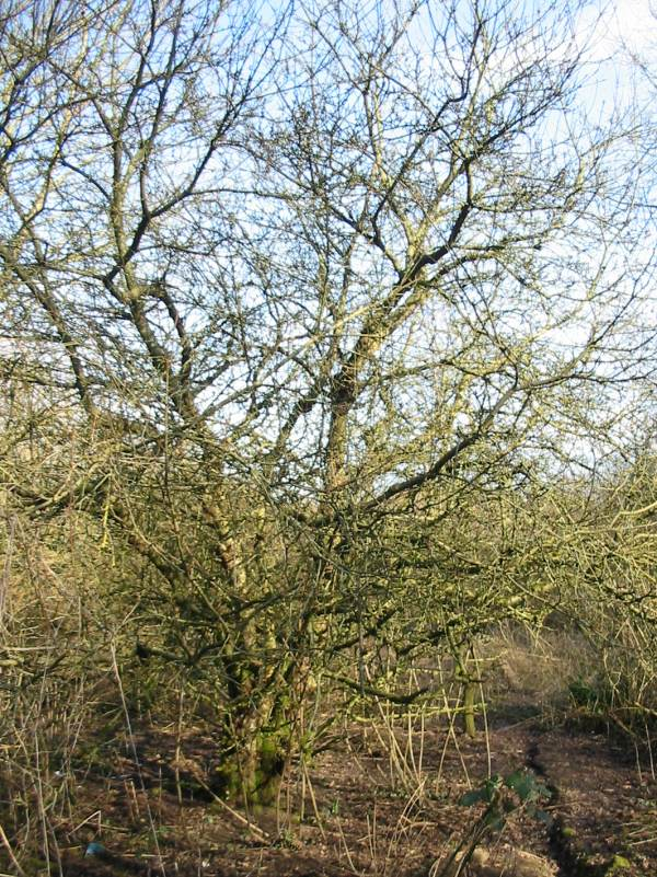 Howardian Local Nature Reserve Orchard Apple winter