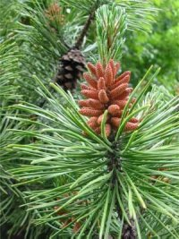Pitch Pine