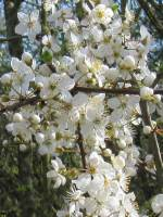 Cherry/Myrobalan Plum   Flower