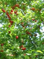 Cherry/Myrobalan Plum   Fruit