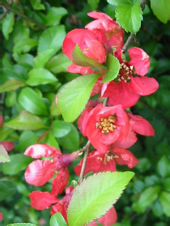 Howardian Local Nature Reserve Quince flower