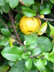 Maule's/Japanese Quince   Fruit
