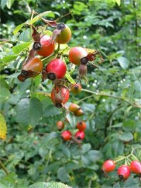 Dog Rose   Fruit (Hip)