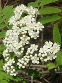 Rowan   Mountain Ash   Flower