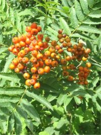Rowan   Mountain Ash   Berry