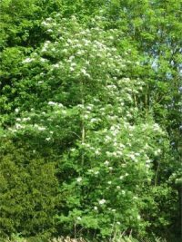 Rowan   Mountain Ash