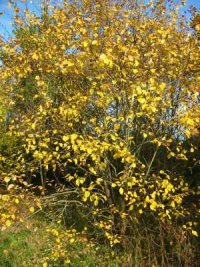 Goat Willow    Sallow    Autumn colour