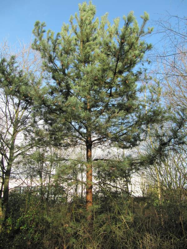 Howardian Local Nature Reserve Scots Pine