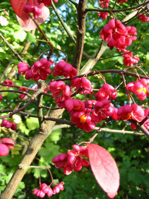 Howardian Local Nature Reserve Spindle fruit